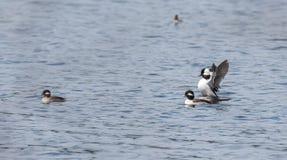 Bufflehead ducks Bucephala albeola in spring. Black & white duck visits northern lakes and ponds in breeding season. stock image