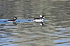 Bufflehead Ducks Swimming in the Still Pond Waters Royalty Free Stock Images