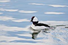 Bufflehead-Ente und Reflexionen Stockfotografie