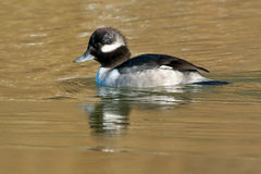 Bufflehead Stock Photo