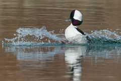 Bufflehead Royalty Free Stock Photography