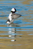 Bufflehead Stock Photos