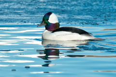 Bufflehead Stock Image