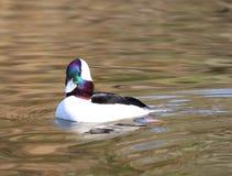 Bufflehead masculino Duck Colorful Ducks que se zambulle Imágenes de archivo libres de regalías