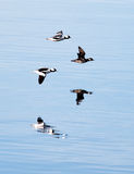 Bufflehead reflections from lake. Royalty Free Stock Photography