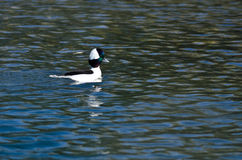 Bufflehead Resting on the Still Water of the Pond Royalty Free Stock Photography