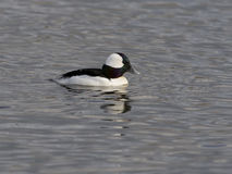 Bufflehead swimming Royalty Free Stock Photography