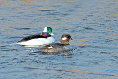 Buffleheads Stockbilder
