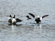 Buffleheads che allungano le loro ali su un lago Rockland Immagine Stock Libera da Diritti