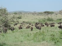 Buffles africains en parc national de Serengeti, Tanzanie photos stock