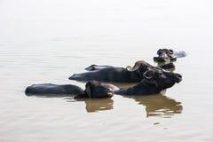 Buffles d'eau ayant un bain en rivière sainte le Gange Photographie stock