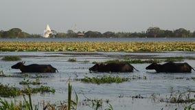 Buffles d'eau dans un lac, un stupa à l'arrière-plan photographie stock libre de droits