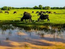 Buffles d'eau en parc national de Yala image libre de droits