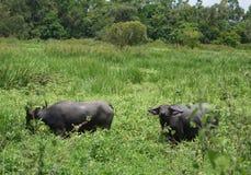 Buffles thaïs Image stock