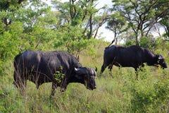 Bufflos in Kruger National Park Stock Image