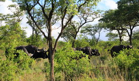Bufflos in Kruger National Park Royalty Free Stock Image