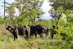 Bufflos in Kruger National Park Royalty Free Stock Photo