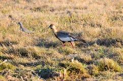 Buffnecked Ibis Imagen de archivo libre de regalías