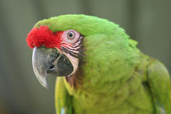 Buffon Macaw. The head of a buffon macaw (great green macaw Royalty Free Stock Images