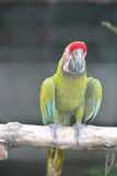 Buffon macaw perching Stock Images