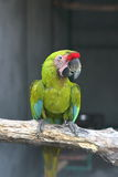 Buffon macaw perching Royalty Free Stock Image