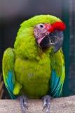 buffon macaw s Στοκ εικόνα με δικαίωμα ελεύθερης χρήσης