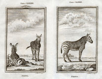 1770 Buffon Print of Zebras on the African Savanna. A pair of antique copper engraved prints of Zebras on the Plains of Africa published by Buffon in 1770 Royalty Free Stock Images