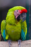 Buffon's macaw Royalty Free Stock Image
