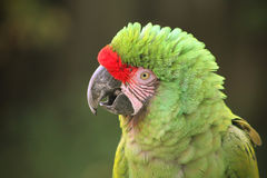 Buffon's Macaw. Close up shot of a macaw Royalty Free Stock Images