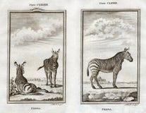 Buffon tryck 1770 av sebror på den afrikanska savannet Royaltyfria Bilder
