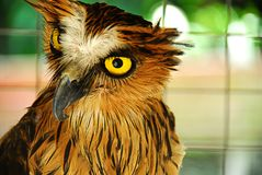 Buffy fish owl Stock Photo