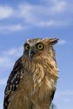 Buffy fish Owl Royalty Free Stock Photography