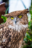 Buffy fish owl Stock Images