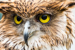 Buffy fish owl Royalty Free Stock Photography
