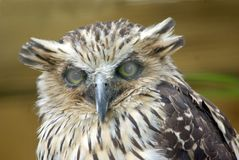 Buffy Fish Owl. Portrait of a Buffy Fish Owl stock image