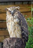 Buffy Fish Owl. The Buffy Fish Owl (Bubo Ketupa stock images