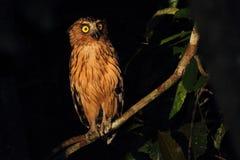 Buffy Fish Owl actief bij nacht die de banken van Kinabatangan-rivier waarnemen stock foto's