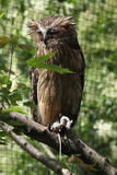 Buffy fish owl (Bubo ketupu) Royalty Free Stock Photography