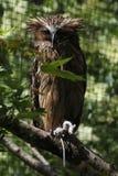 Buffy fish owl (Bubo ketupu) Stock Photography
