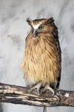 Buffy fish owl (Bubo ketupu) Royalty Free Stock Images