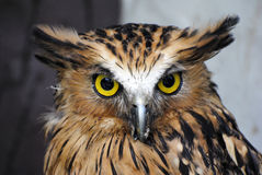 Buffy fish owl (Bubo ketupu) Royalty Free Stock Photography