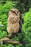Buffy Fish Owl. (Bubo ketupu) sitting on branch in forest Royalty Free Stock Image