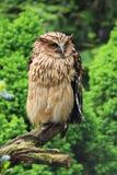 Buffy Fish Owl royalty free stock image