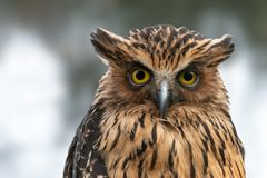 Buffy Fish-owl close-up portrait stock photography
