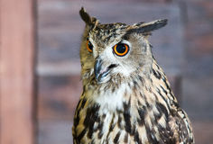 Buffy Fish Owl Couple Fotografie Stock
