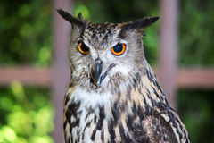 Buffy Fish Owl Couple Royalty Free Stock Images