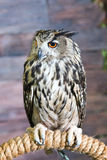 Buffy Fish Owl Couple Stock Photography