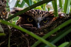Buffy Fish Owl hatching egg in the nest. Buffy Fish Owl hatching egg in the nest, Phatthalung, Thailand Royalty Free Stock Images