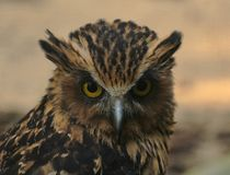 Portrait of buffy fish owl Ketupa ketupu at a zoo stock photo