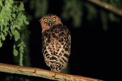 Buffy Fish Owl Royalty Free Stock Image
